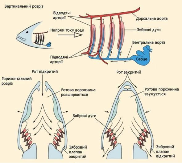 Схема газообмена у рыб